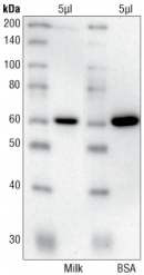 CST_WB_primary-dilution-buffer-9271