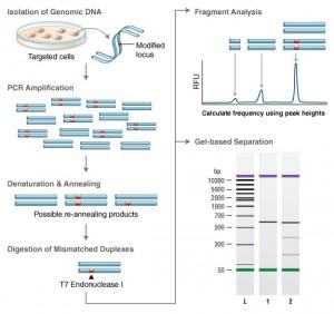 EnGen Mutation Detection T7 Endonuclease Assay Method