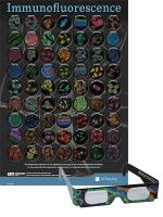 Immunfluoreszenz Poster 3D