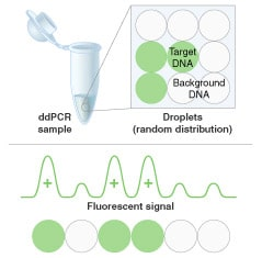 Restriktionsenzyme - Einsatz in der Droplet Digital PCR