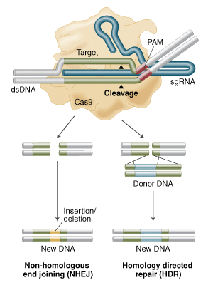 Genome engineering with Cas9 Nuclease